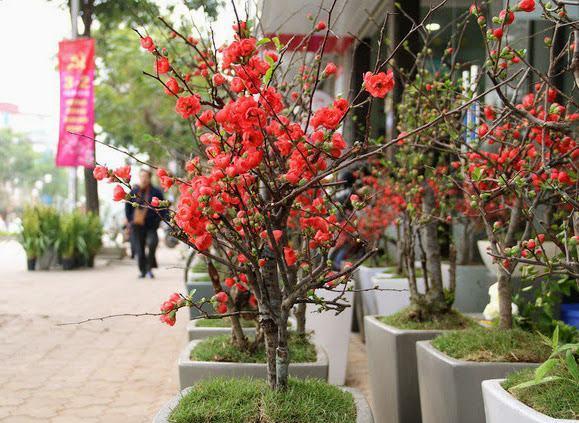 Cây hoa mai đỏ bonsai đẹp